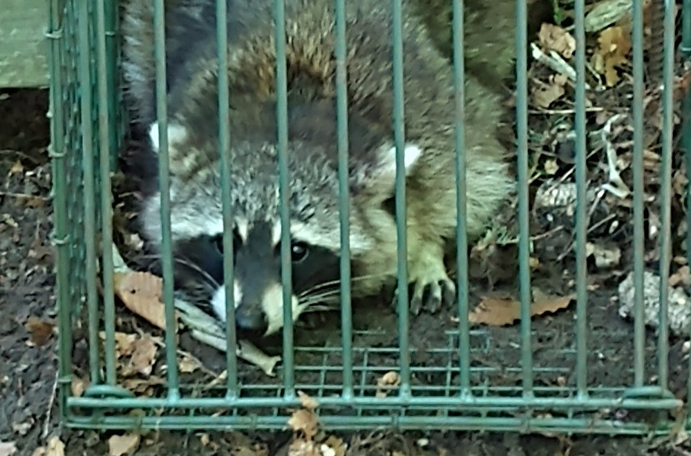 Raccoon Trapping & Control